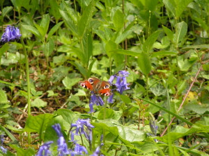 Bluebells, dog's mercury and peacock butterfly