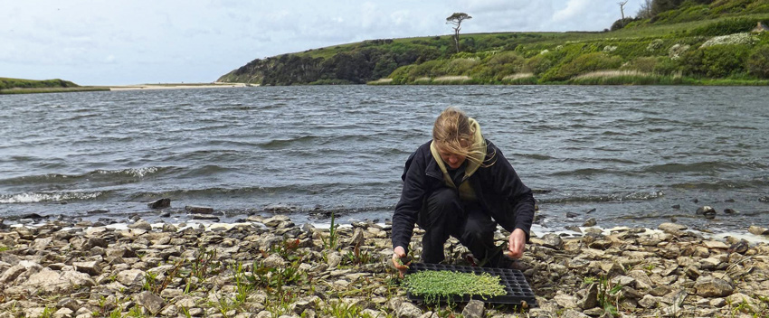 strapwort-conservation-project
