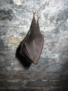 Lesser horseshoe bat credit Dr Paul Chanin