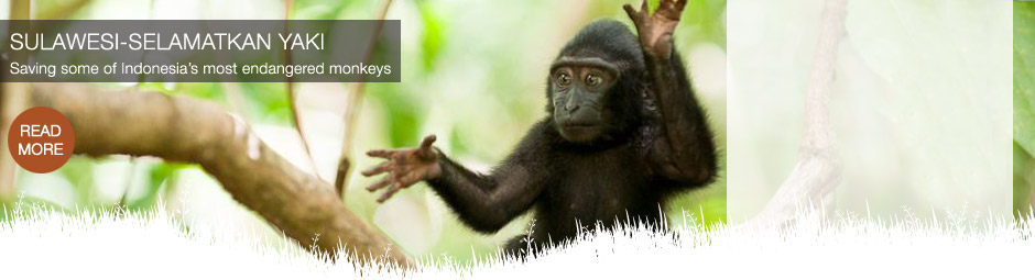 Saving some of Indonesia's most endangered monkeys