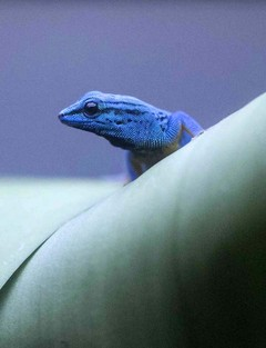 The gorgeous gecko staring extinction in the face