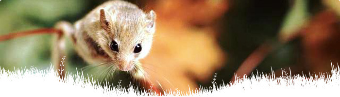 Dormice recovery programme